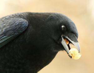 Peanut eater