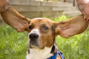 cutcaster-photo-100183973-Big-Ear-Beagle